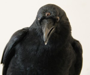 Game of Thrones Three-Eyed Crow Taxidermy: Die or Die