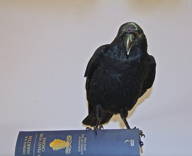 game of thrones three eyed crow taxidermy by allis markham 4 620x503