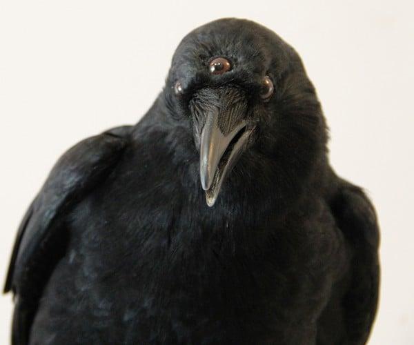 Game of Thrones Three-Eyed Crow Taxidermy: Die or Die