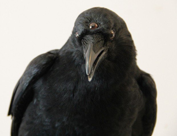 game of thrones three eyed crow taxidermy by allis markham 620x478
