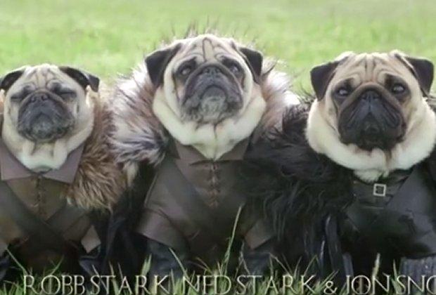 pug starks1