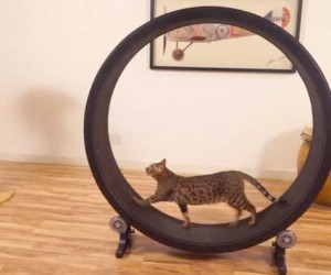 One Fast Cat: A Giant Hamster Wheel for Cats