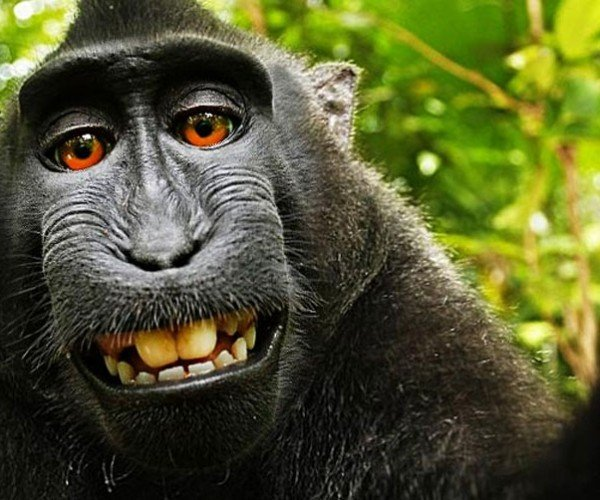 Monkey Owns Copyright to Selfie Says Wikimedia