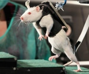 Device Allows Paralyzed Rats to Walk, Human Trials Soon