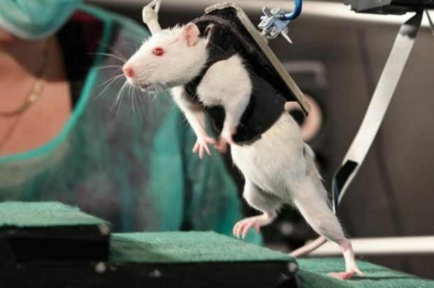 paralyzed_rat_walking