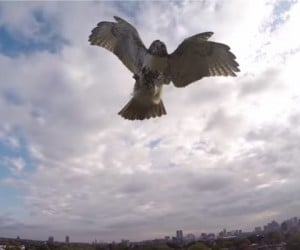 This Is What It Looks Like When a Hawk Kicks a Quadcopter's Ass