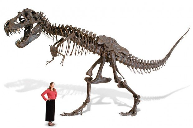 life-size-t-rex-tyrannosaurus-rex-skeleton-stan-replica-by-black-hills-institute
