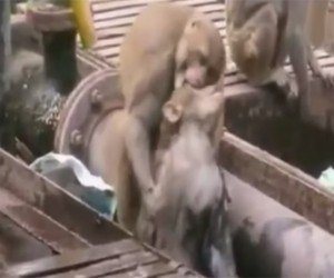 Monkey Resuscitates His Electrocuted Friend with CPR