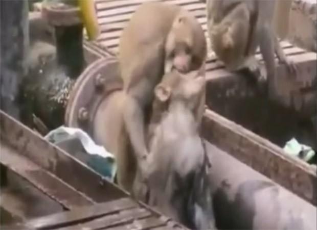 monkey_cpr