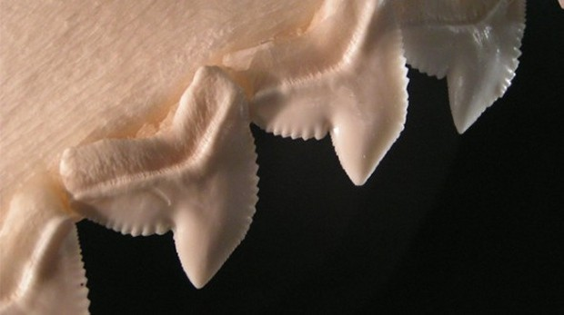 shark_teeth_1