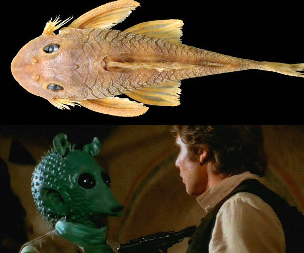 "New Catfish Species Named after Greedo from Star Wars: ""Going Somewhere, Salmon?"""