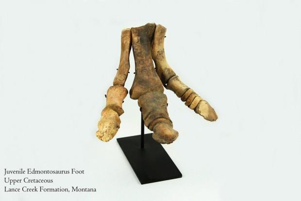 edmontosaurus_foot