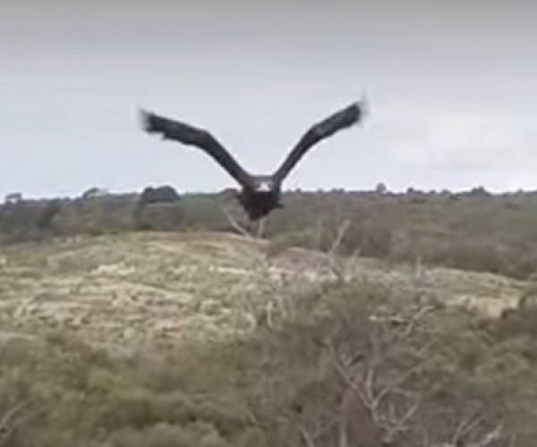 Eagle v Drone: Dawn of Justice