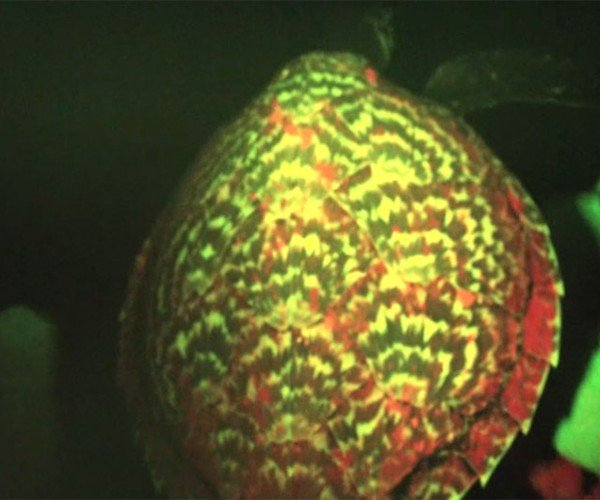 Glowing Sea Turtle Discovered During Night Dive