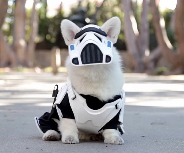 Winston the White Corgi Is Not Too Short to Be a Stormtrooper