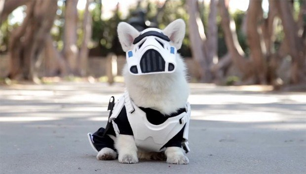 winston_the_white_corgi_stormtrooper_costume_1