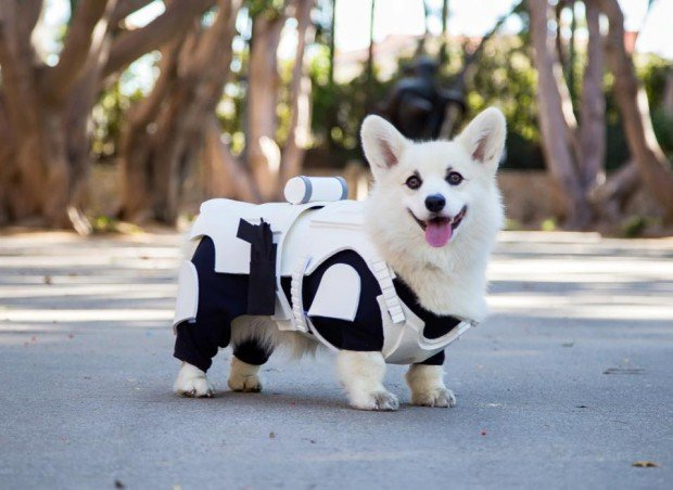 winston_the_white_corgi_stormtrooper_costume_2