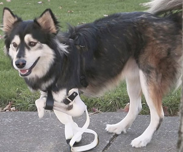 Derby the Dog Gets New 3D Printed Legs