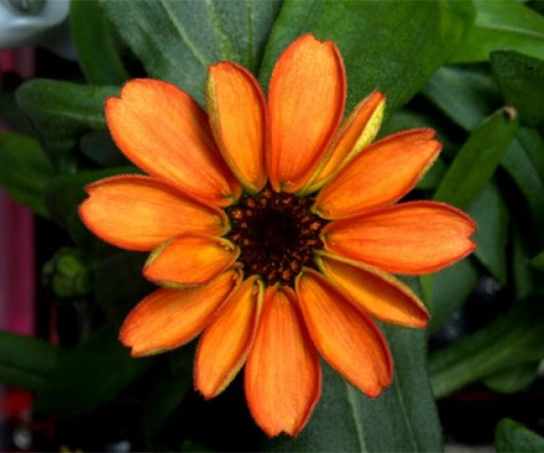 NASA Shows off Flower Grown in Space