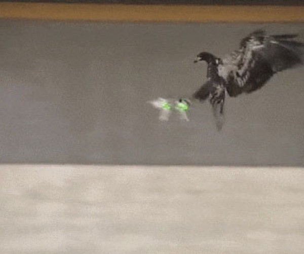 Dutch Police Training Eagles to Snatch Drones from the Skies