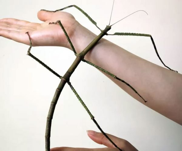 Gigantic Stick Bug is 2-Feet of Nope