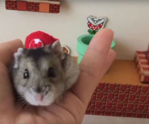 Hat-wearing Hamster Owns Super Mario Maze