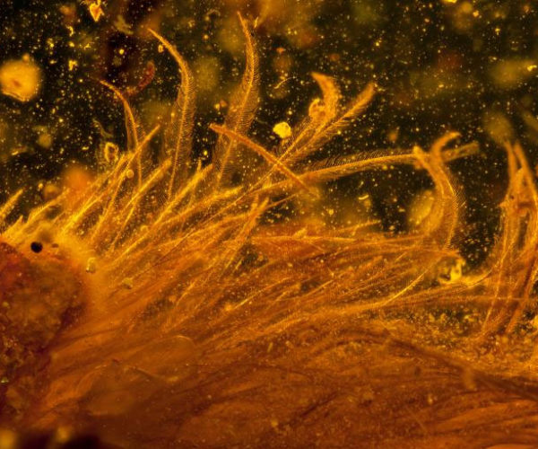 Scientists Buy Amber with Feathered Dinosaur Tail Inside