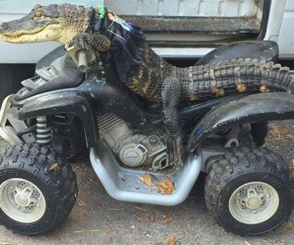 This Alligator Is Way Cooler Than You