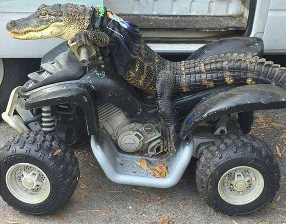 This Alligator Is Way Cooler Than You - Technabob