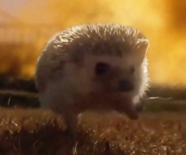 This Hedgehog Isn't Sonic, but He's Still the Bomb