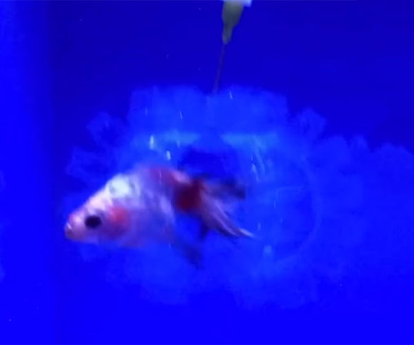 MIT Develops Transparent Hydrogel Robots That Can Catch Fish