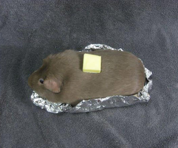 Guinea Pigtato Just Needs Some Cheese and Bacon Bits