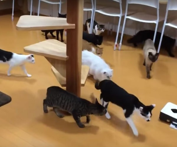 Robot Vacuum Cleaner Scares a Few Lives out of a Bunch of Cats