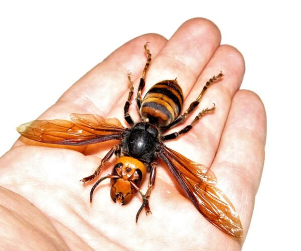Real Dead Giant Murder Hornets for Sale